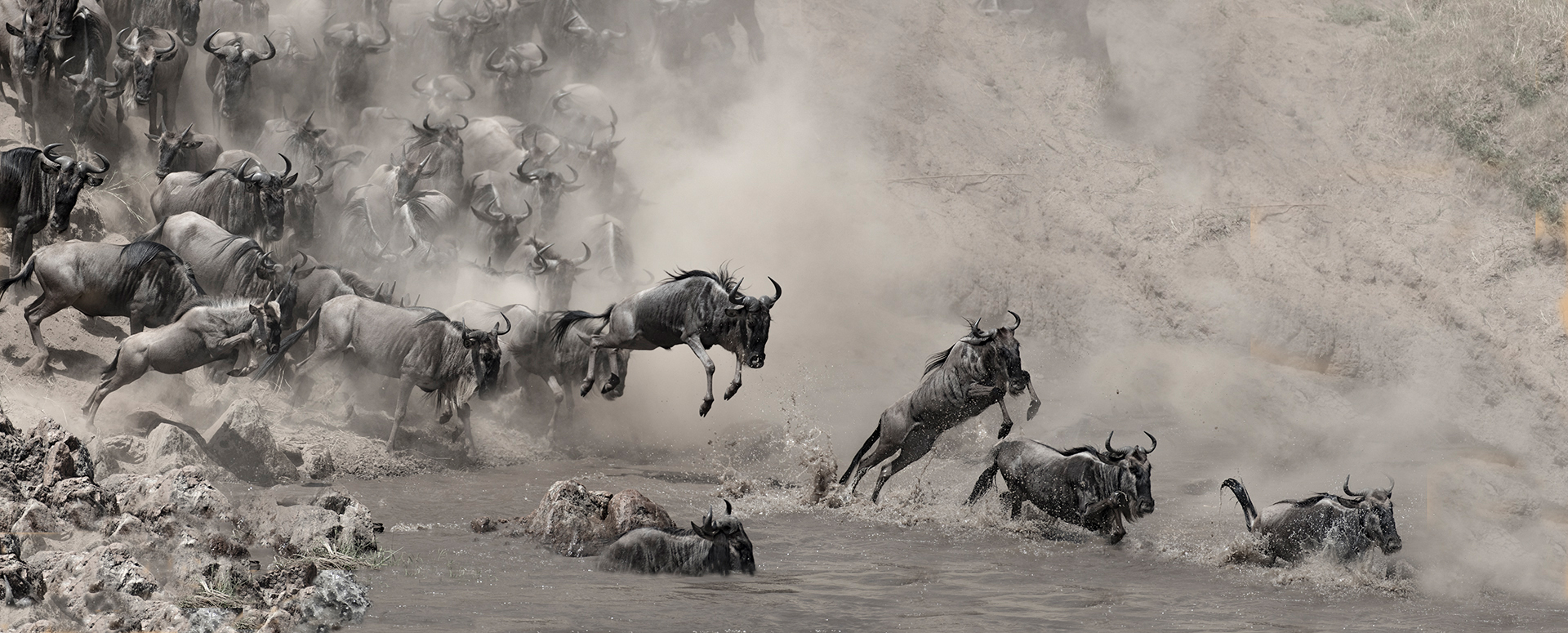 Wildebeest jump into the Mara river with the purpose to cross it to the other side. Image by Todd Gustafson.