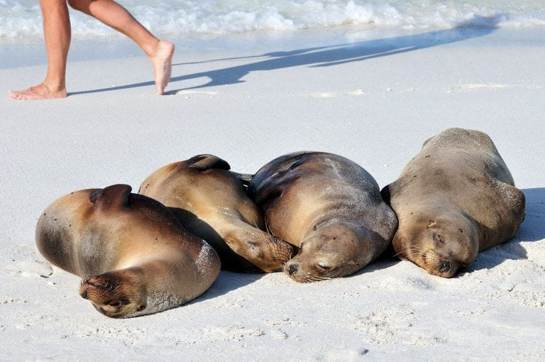 Sleeping Galapagos sealions with tourist