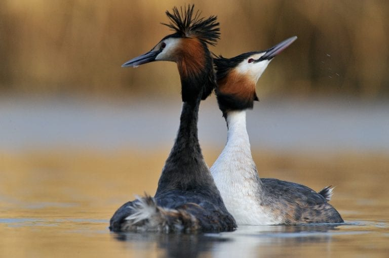 Display of pair great crested grebes