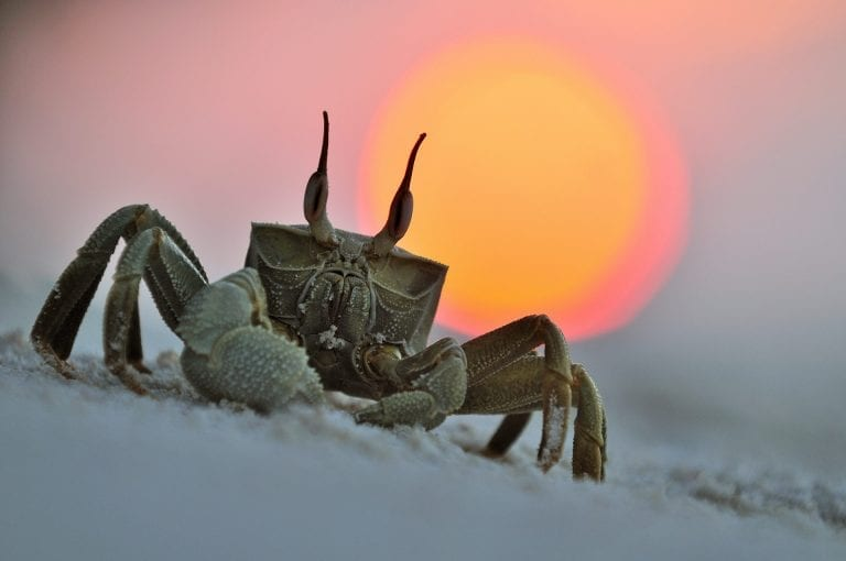 Horned ghost crab at sunset