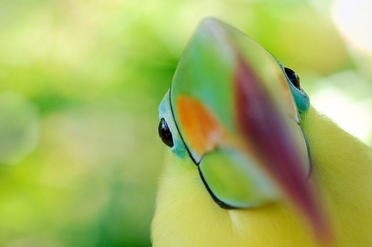 Close-up portrait of Keel-billed Toucan