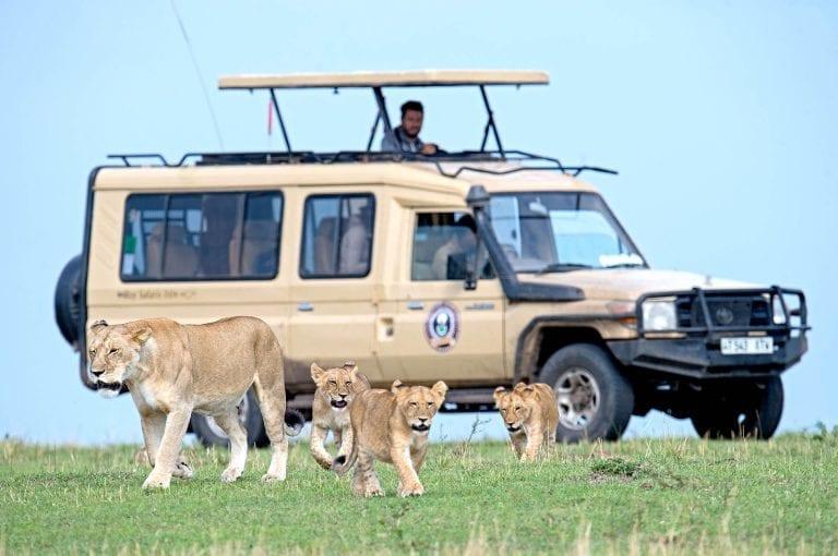 Lions and safari vehicle
