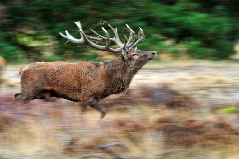 Red deer male in National Park Hoge Veluwe