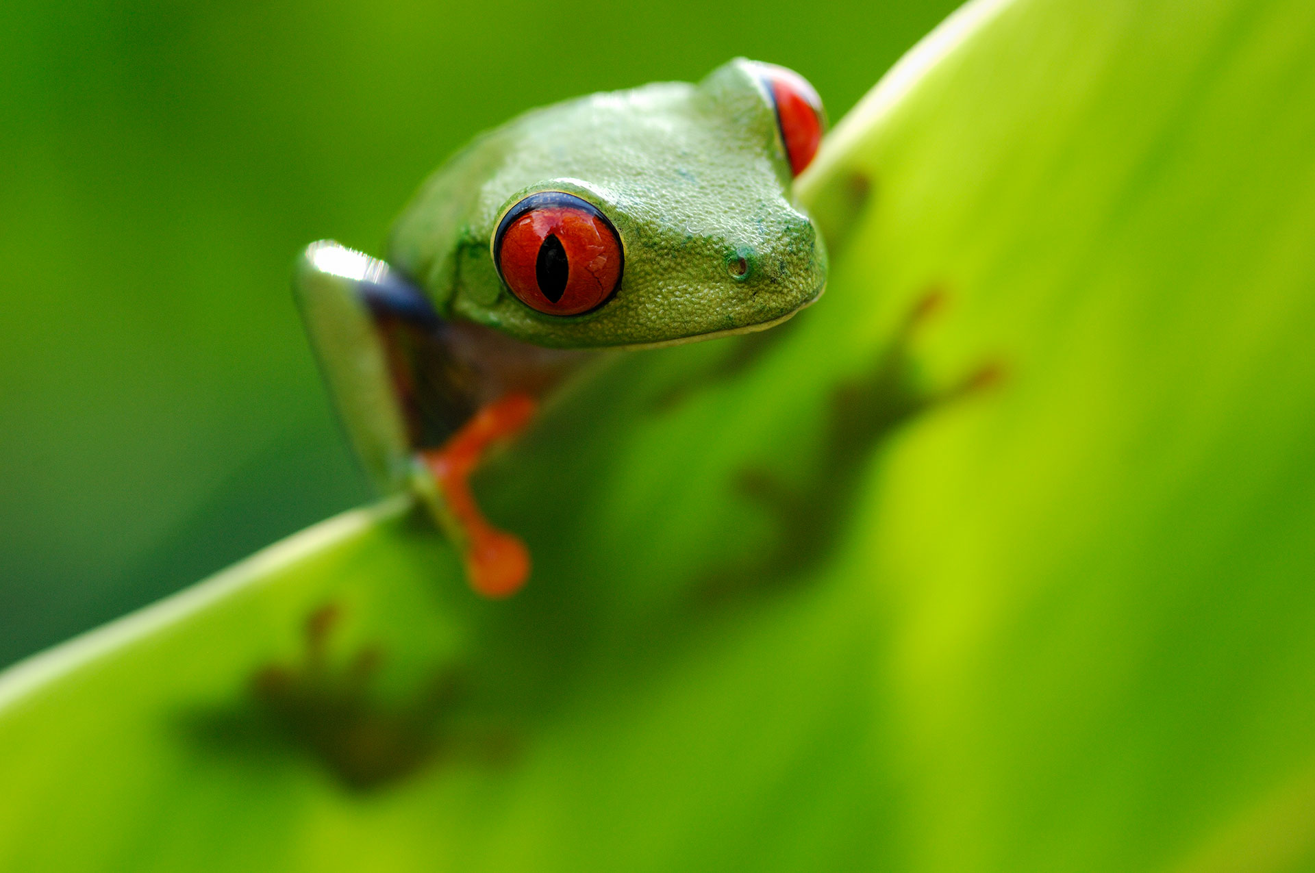 Red-eyed Tree Frog in Costa-Rica