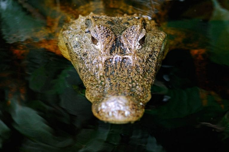 Spectacled caiman up close