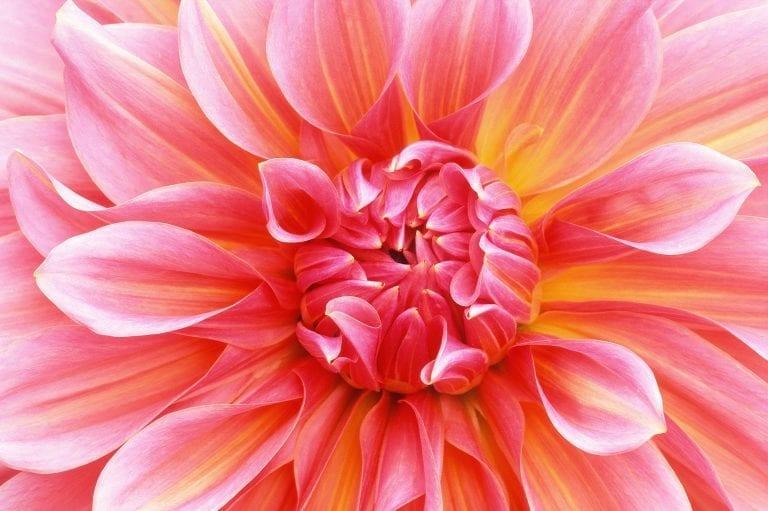 Macro fotografie van een Dahlia bloem