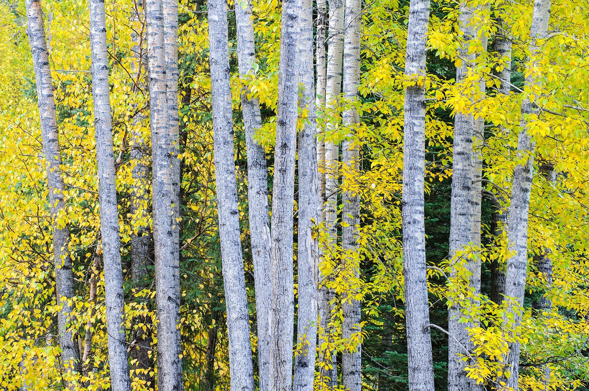 Autumn trees Alaska