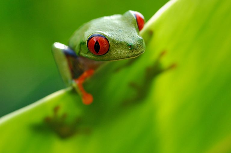 A red-eyed tree frog on a banana leaf.