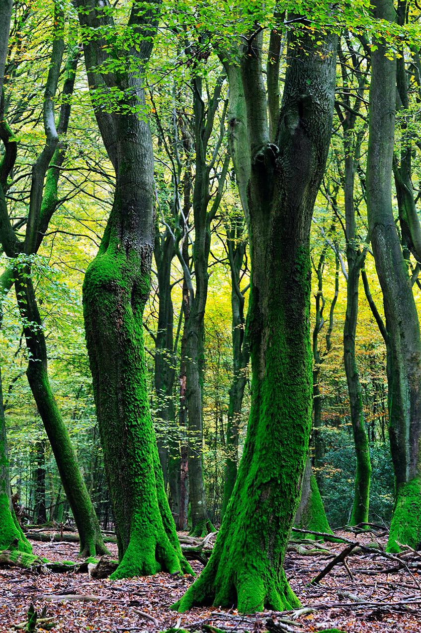 Dancing trees in Speulderbos
