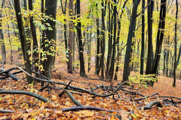 Young beech forest at the Duivelsberg