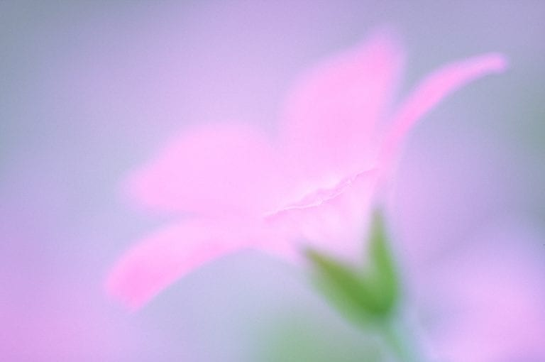 Close-up photo of a garden flower