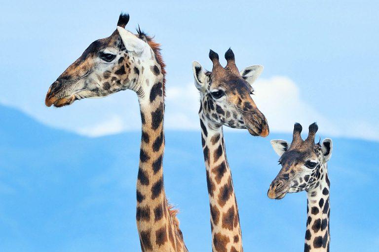 Portret van drie giraffen