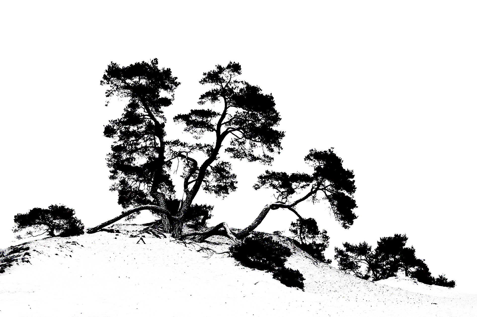 Creative impression of a pine tree during a workshop nature photography on the Kootwijkerzand.