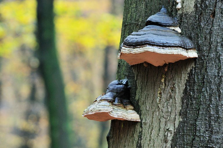 Mushrooms on tree in the forest Speulderbos.