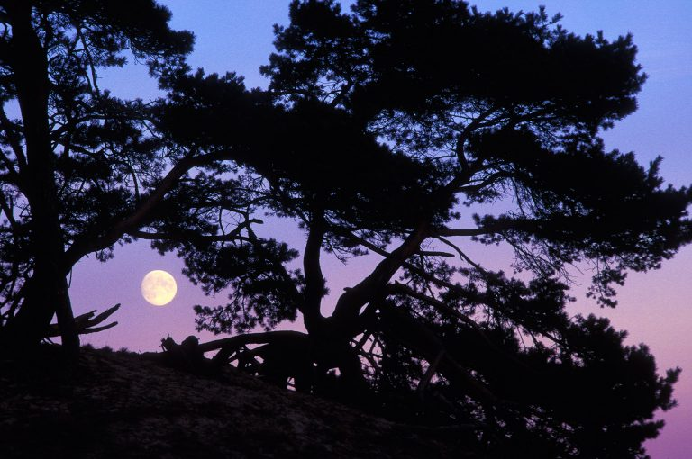 Moonrise through a window in a pine tree on the Kootwijkerzand.