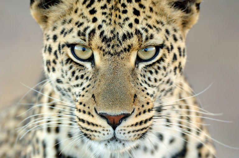 Serengeti leopard gaze