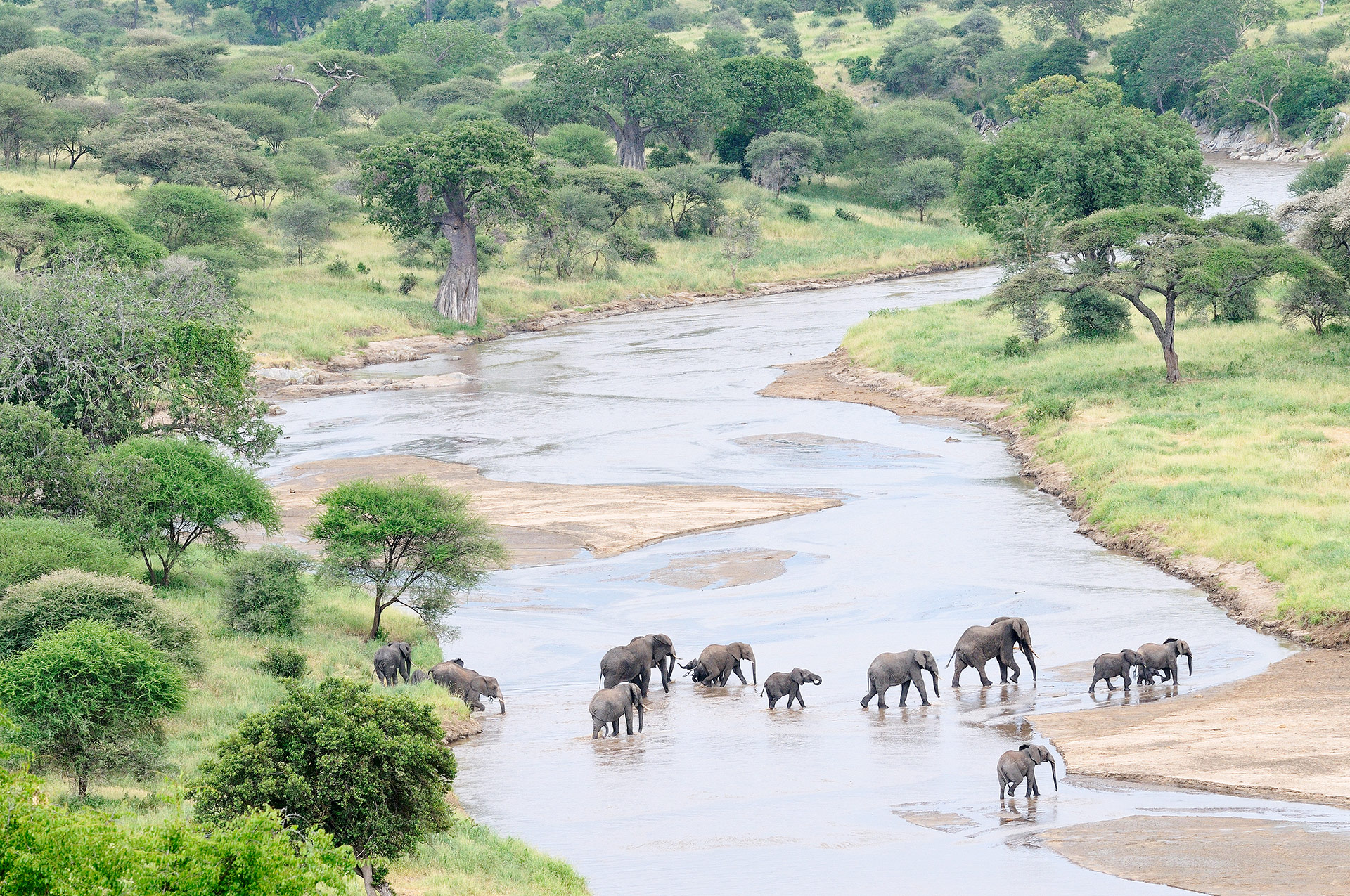 Elephants (Loxodonta africana) cross the Tarangire River in Tanzania