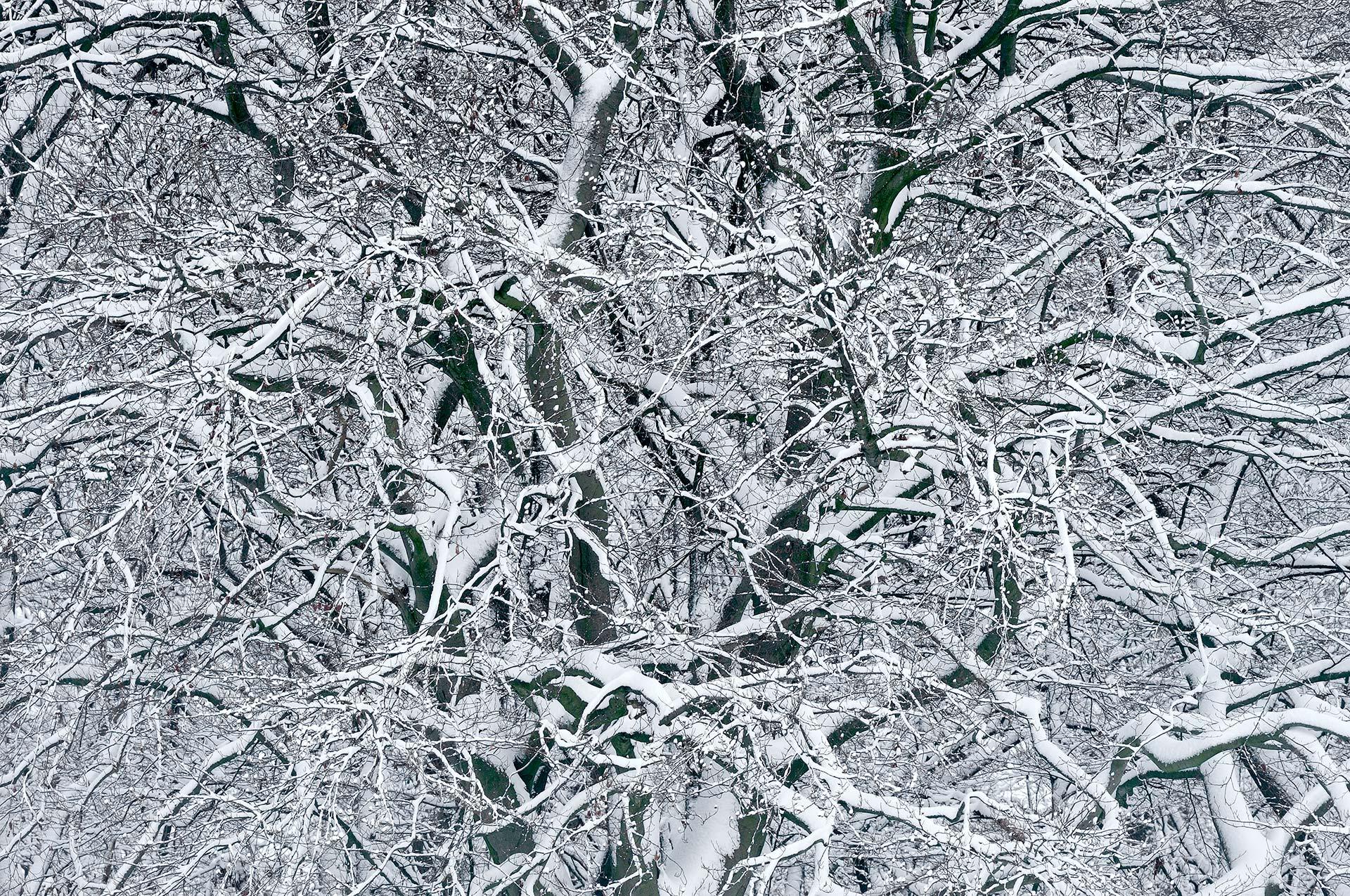 Snow covered beech tree