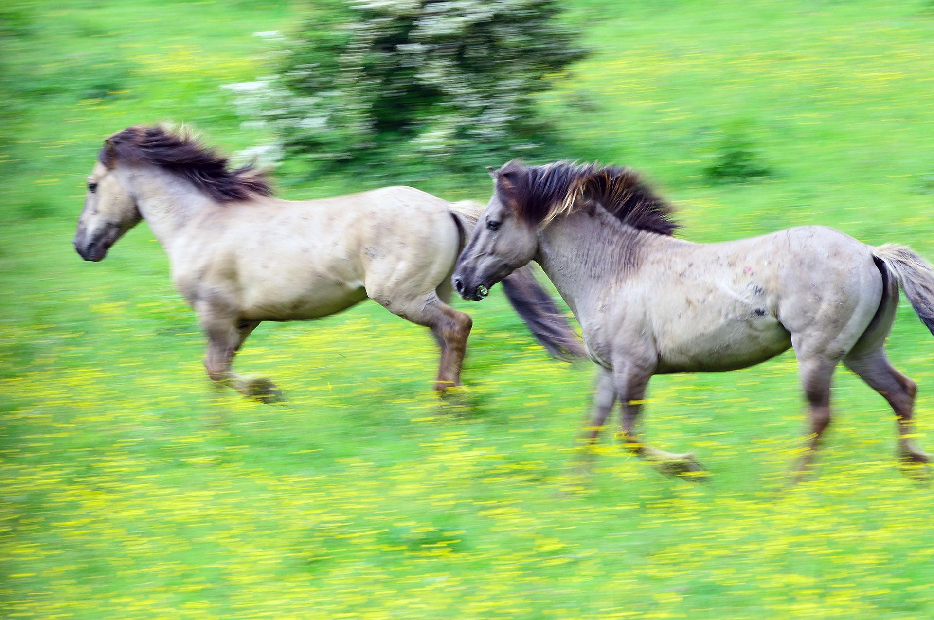 Konik horses running in the Blauwe Kamer