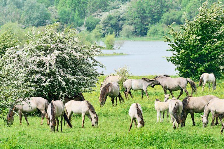 Konik horses wander free around in between blooming hawthorn.